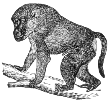 Baboon clipart black and white White Baboon Search and Domain