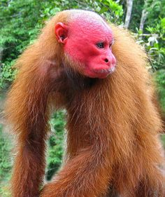 Baboon clipart uakari Pinterest Sharing! Flickr Red faced