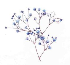 Baby's Breath clipart By Pressed  babys Flowers