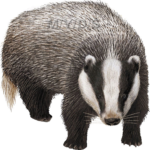 Badger clipart Top 93 Clipart Clipart Image