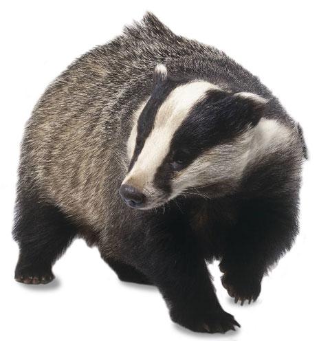 Honey Badger clipart fierce #8
