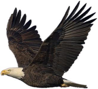 Bald Eagle clipart #11