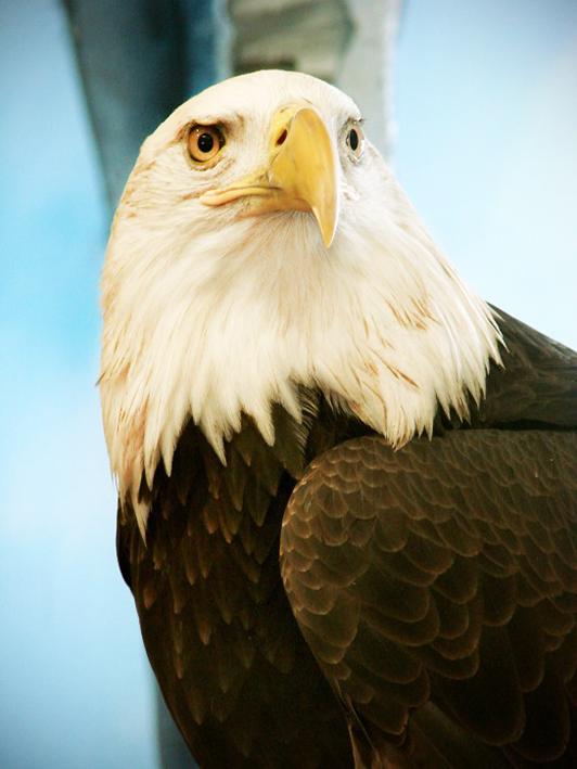 Bald Eagle clipart face Pictures Eagle  Bald
