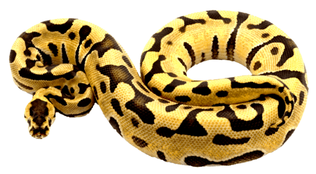 Python clipart Drawings Ball Download #18 Python