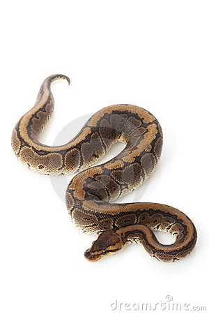 Ball Python clipart burmese python #15 clipart Download Ball Ball