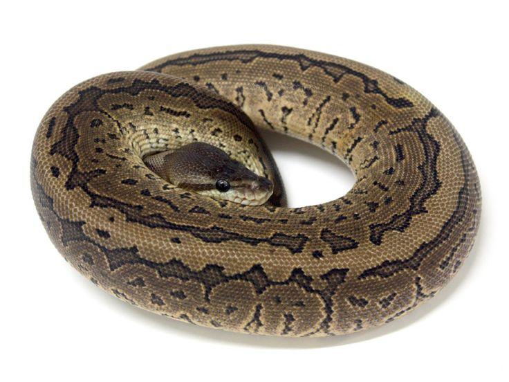 Ball Python clipart pastave Aka best Pinstripe on Ball