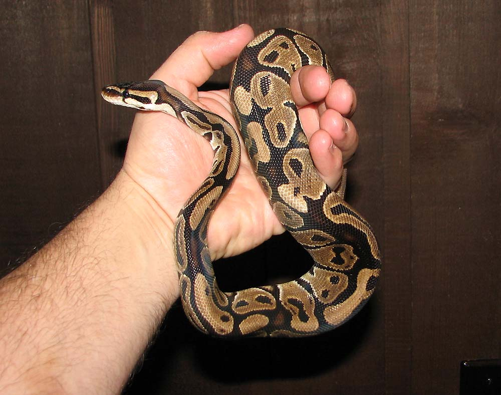 Ball Python clipart full size Ball is a normal images