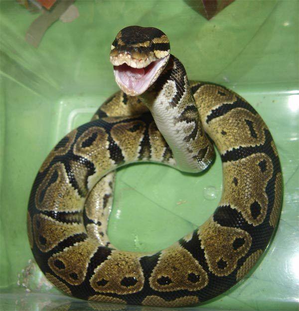 Ball Python clipart full size On a PYTHONS Ball pythons