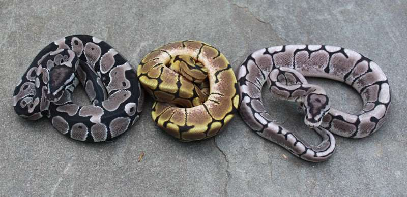 Ball Python clipart full size Python spider ball python Axanthic