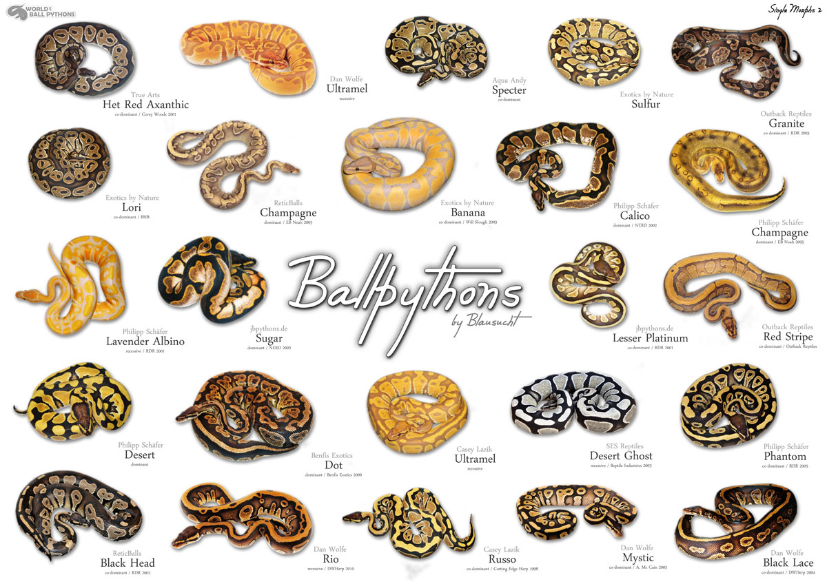 Ball Python clipart full size Of python they some python