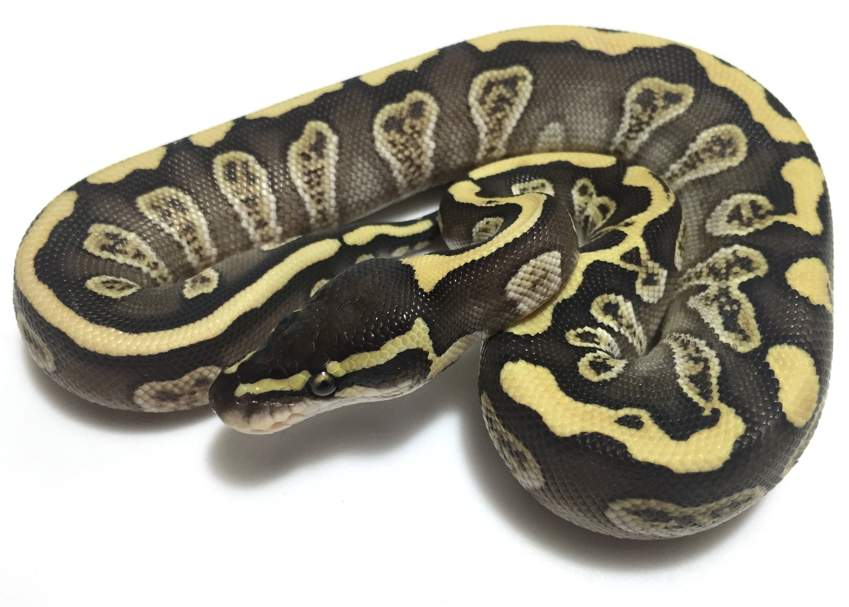 Ball Python clipart ghi Results Python Berita inferno 1500x1072