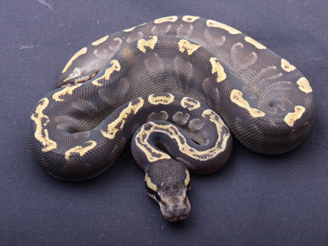 Ball Python clipart ghi Morphs Ball python ball Python