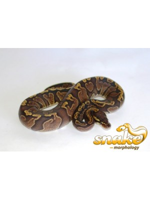 Ball Python clipart ghi INCHI #A269 BELLY YELLOW BALL