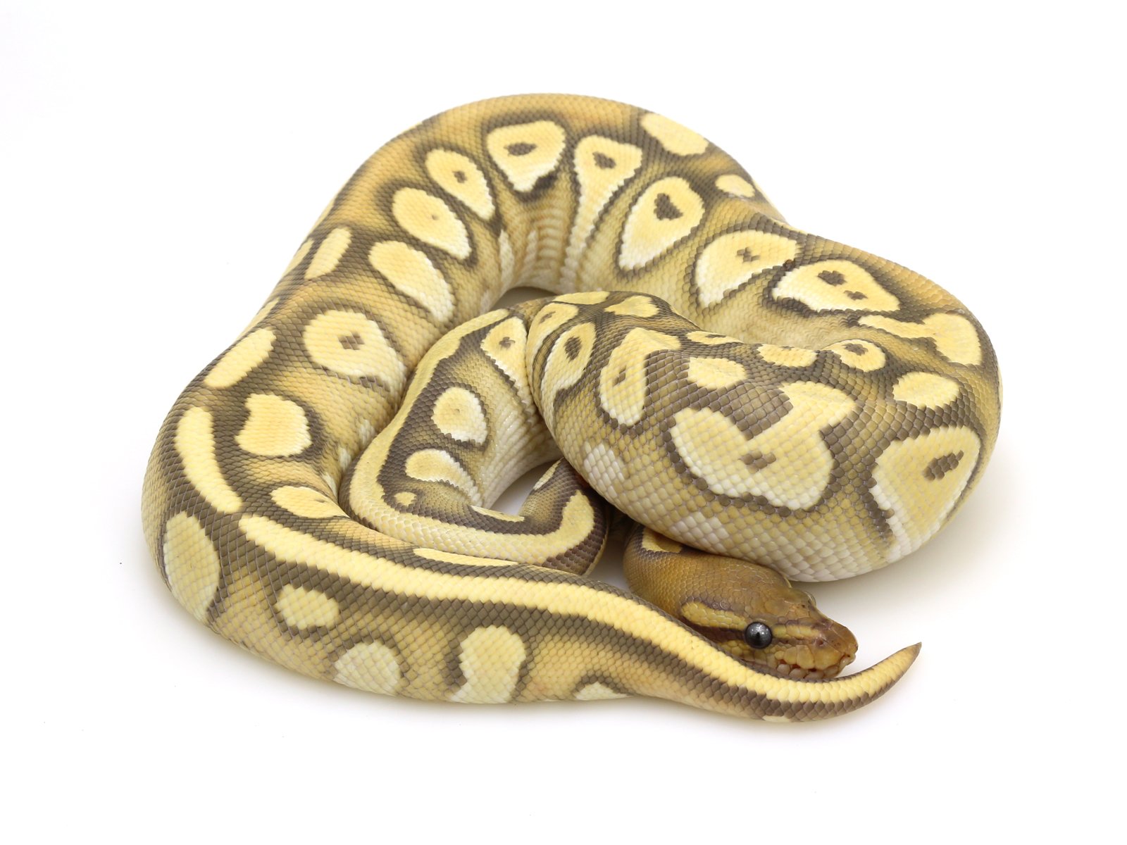 Ball Python clipart burmese python Ghost Markus Ball Orange Always
