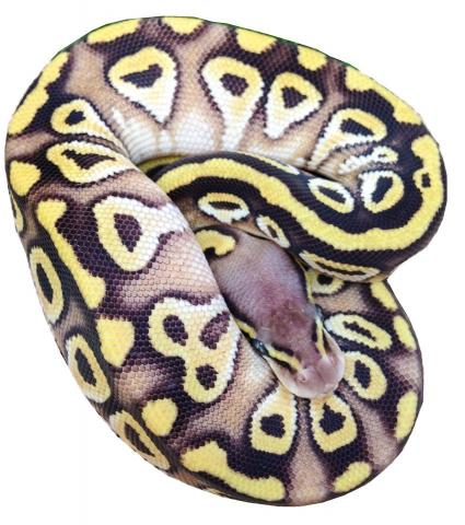 Ball Python clipart pastave Chris Home jpg COS 10714712_715268818552567_1891709216_n