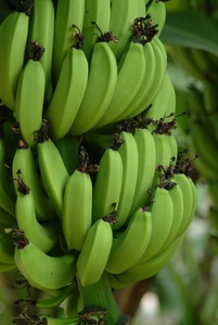 Banana clipart green banana Bananas green Photo in tree