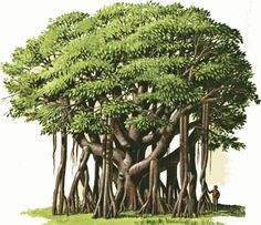 Banyan Tree clipart And banyan banyan 1 tree