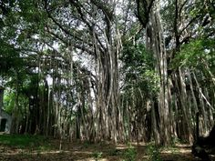 Banyan Tree clipart adyar  Adyar Plants of Chennai
