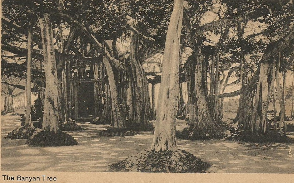 Banyan Tree clipart adyar Peacock bank Known on Theosophical