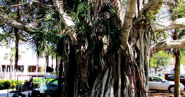 Banyan Tree clipart adyar  Pinterest Banyan tree Banyan