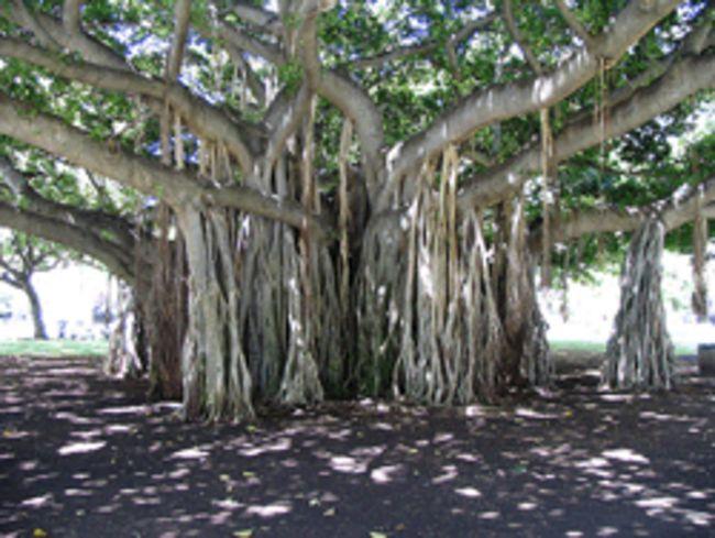 Banyan Tree clipart adyar India giant Adyar 19 The