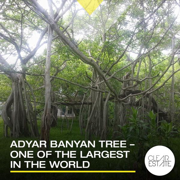 Banyan Tree clipart adyar Banyan of ClearEstate tree 450