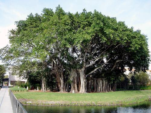 Banyan Tree clipart adyar Tree: Banyan Maha Sri Tree