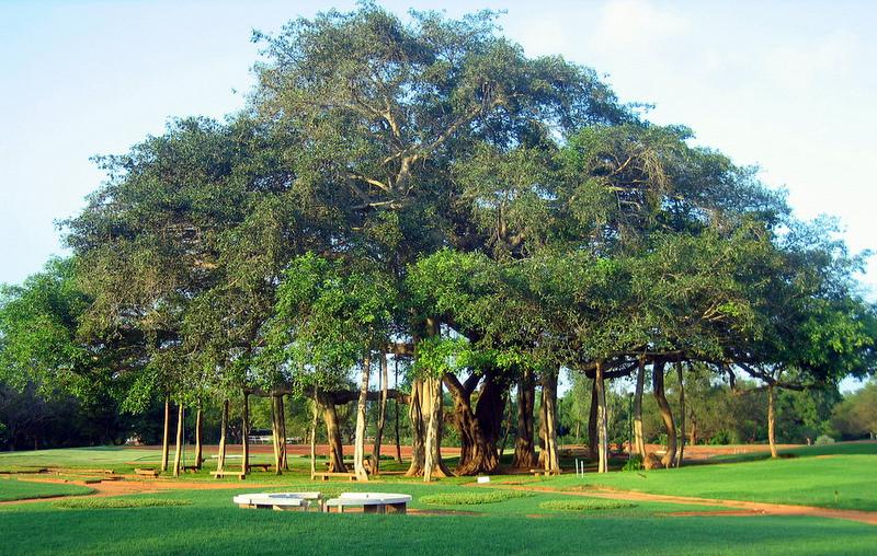 Banyan Tree clipart hindi Tree For Tree Tree Banyan