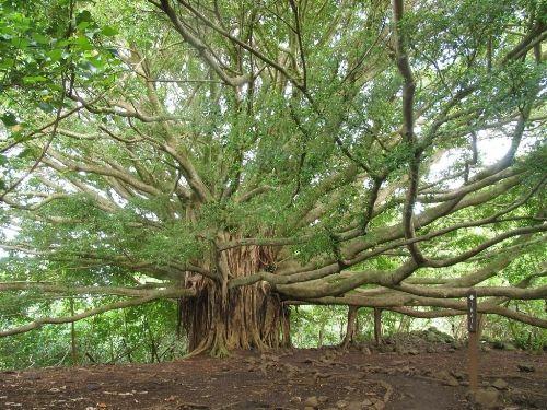 Banyan Tree clipart hindi Tree chandra  Pinterest The