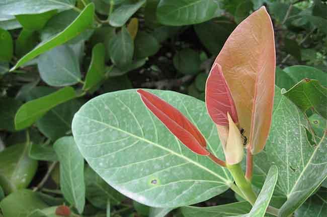 Banyan Tree clipart hindi Nursery Banyan  Wala Tree(Bargad)