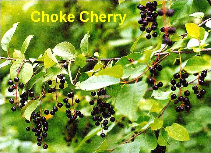 Bark clipart chokecherry Leaf (X) CCHE jpg bytes)
