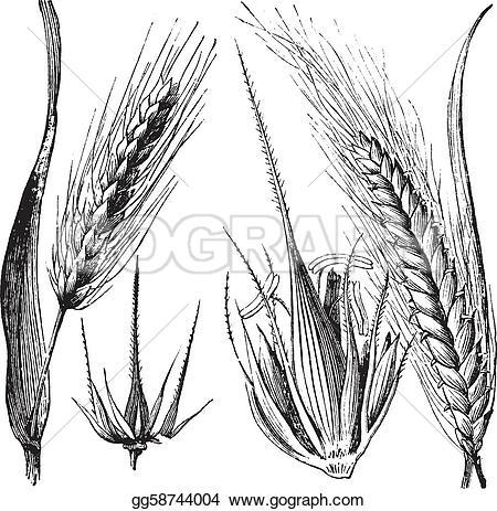 Barley clipart And or or barley vintage
