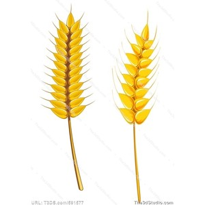 Barley clipart wheat leave Photo wheat Polyvore Image Stock