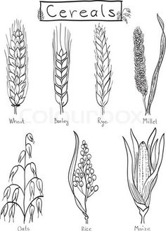 Drawn grain wheat crop Clipart shivat grains Pinterest wheat