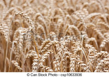 Barley clipart wheat straw Stock Stock summer straws the