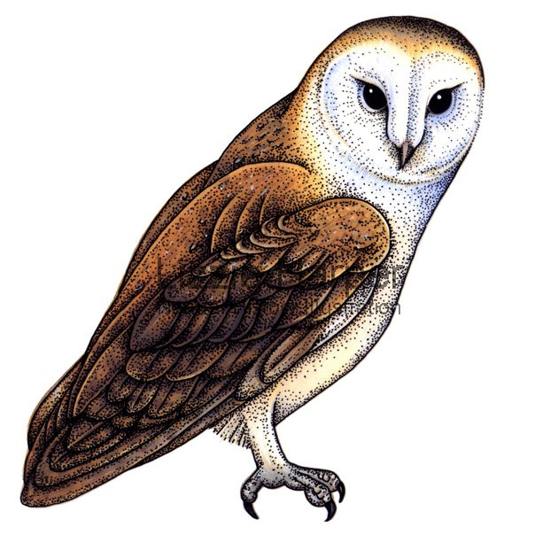 Bird Of Prey clipart barn owl Owl Free Top Barn Owl