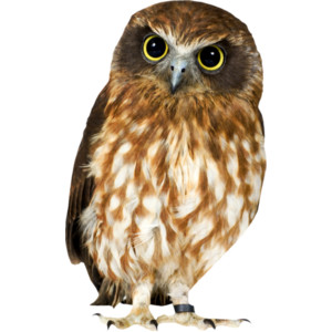 Brown Hawk Owl clipart Owl Barn Download drawings clipart