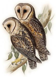 Barn Owl clipart Masked Barn Owl Owl Clip