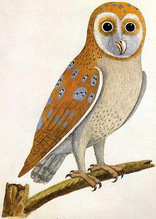 Bird Of Prey clipart barn owl Pinterest Owl about 1738 Natural