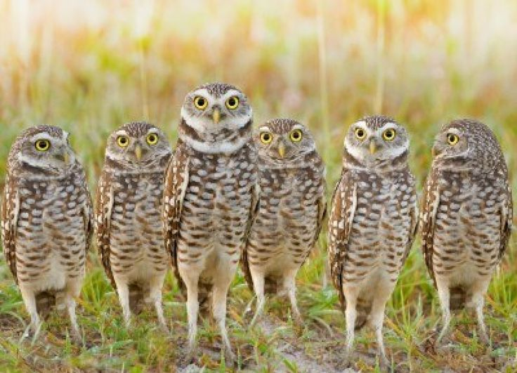 Burrowing Owl clipart snowy owl On best Owls 10393797 local
