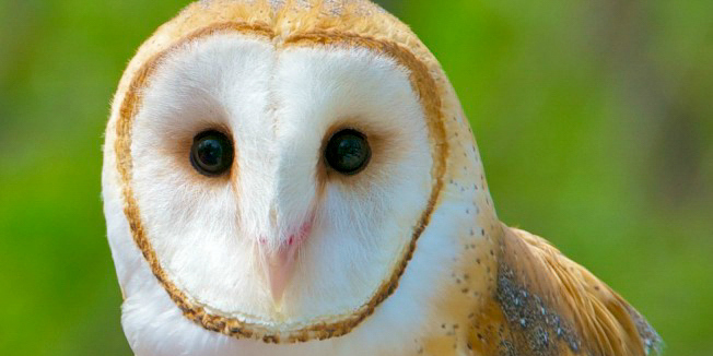 Drawn owl couple  Their Learn Calls Identify