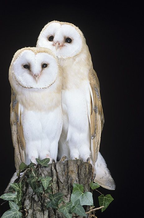Barn Owl clipart nocturnal animal Barn 482 on Owls best