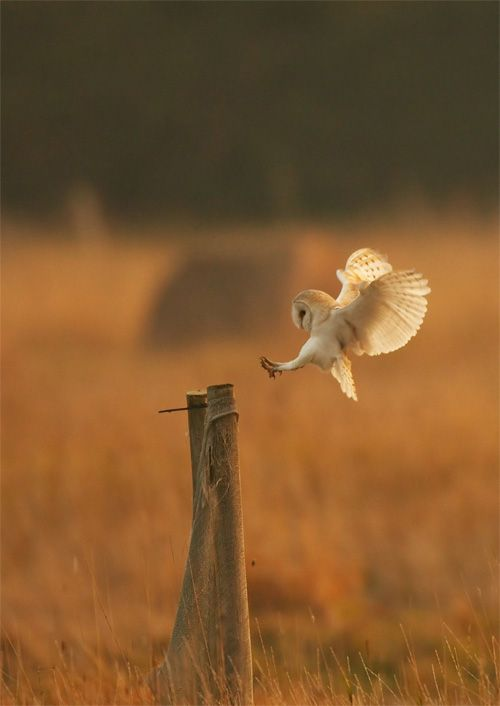 Barn Owl clipart nocturnal animal 25+ Owls) ideas Owl Best