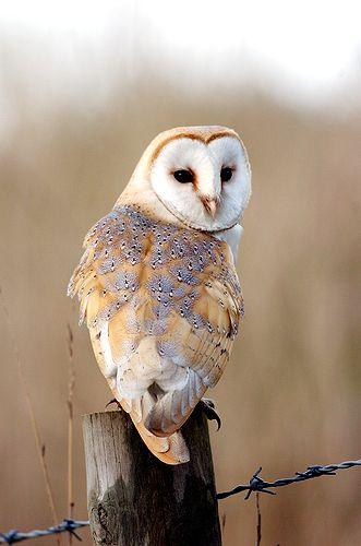 Barn Owl clipart nocturnal animal Owls ideas AnimalFunny below Pinterest