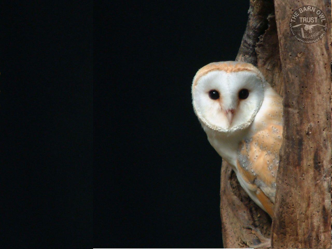 Barn Owl clipart nocturnal animal Wallpaper AM Desktop Owls Ando