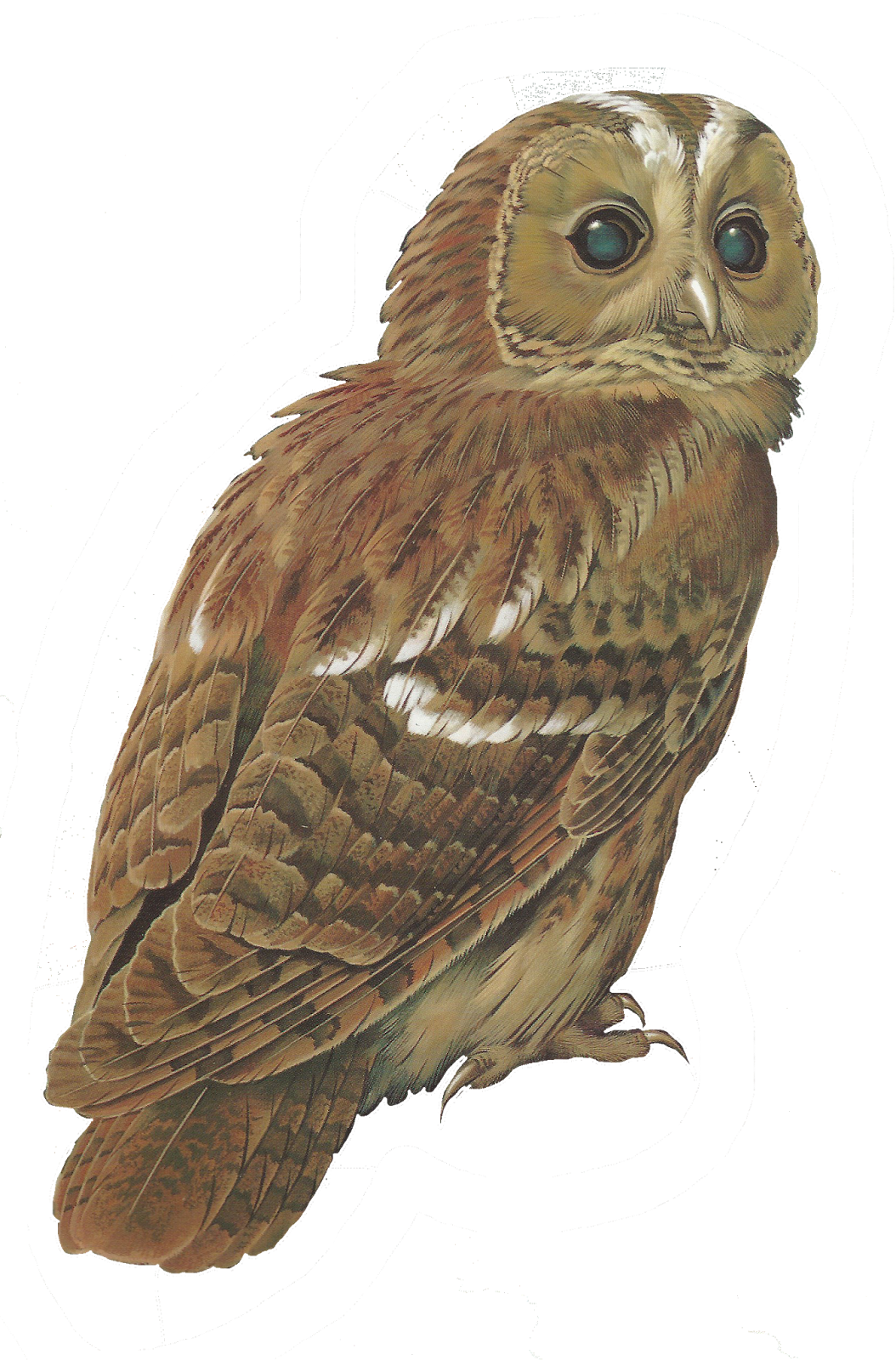Barred Owl clipart burrowing owl Png 600 Owls The+Tawny+owl@glenda+s+world 054×1