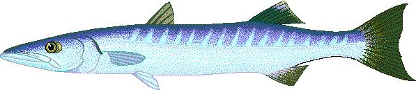 Barracuda clipart Art Barracuda Download Sphyraena Great