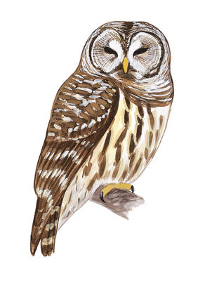 Barred Owl clipart Five Owls Barred Owl Identify