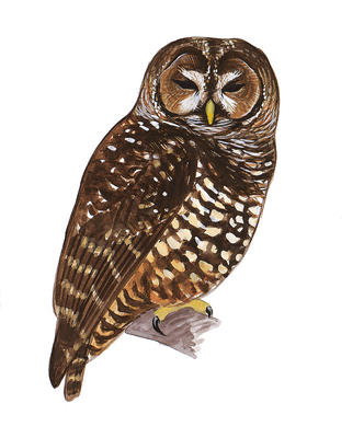 Barred Owl clipart Field Guide Spotted Owl Audubon