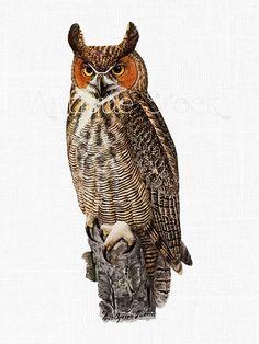 Barred Owl clipart  AntiqueStock Watercolor art clip
